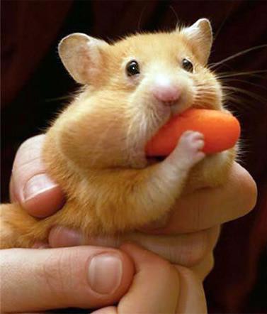 Carrot eating gerbil!